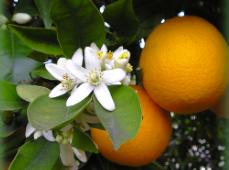Flor de azahar, ideal para aromatizar el té moruno.